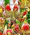 """BALDUR-Garten Lilie """"Fusion"""" 3 Knollen Lilium von Baldur-Garten auf Du und dein Garten"""