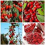 Plentree 100 pc cinese bacca di goji wolfberry semi noce organico frutta secca Tea Seed