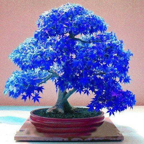 lau Ghost Japanischer Ahorn Baum, (Acer palatum), Bonsai Blumensamen, Tree Seeds, Topfpflanzen für Home & Garden von SVI (Ghost Bäume)