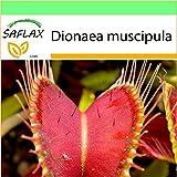 SAFLAX - Jardin dans la boîte - Dionée attrape-mouche - 10 graines - Dionaea muscipula