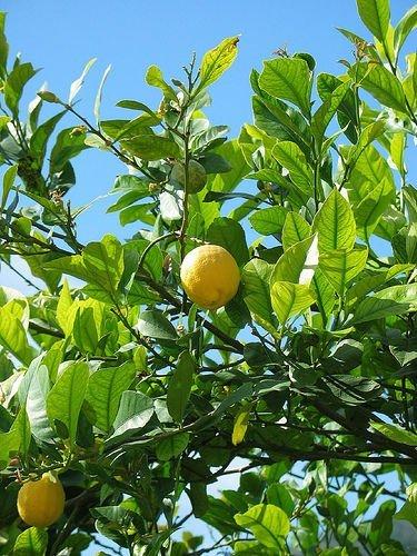 Zitronenbaum citrus limon Limone Zitrone Zitrus Pflanze 5-10cm Zitruspflanze