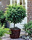 Kugelakazie auf Stamm. 1 Pflanze - zu dem Artikel bekommen Sie gratis ein Paar Handschuhe für die Gartenarbeit dazu