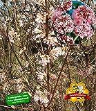 BALDUR-Garten Winter-Schneeball 'Charles Lamont', 1 Pflanze Viburnum bodnantense