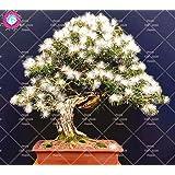 10 pcs Bonsai Albizia julibrissin hermosas semillas de flores de acacia semillas de flores perenne planta en maceta de interior para jardín 1