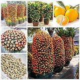 30 Pcs Citrus reticulata Graines nain orange Bonsai Mandarine graines comestibles Agrumes sucrés arbres fruitiers pour jardin...