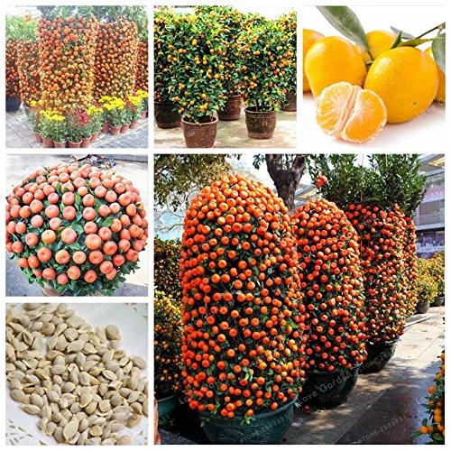 30 PC Citrus reticulata orange Samen Zwerg Bonsai Mandarine Samen Essbare Süße Zitrusfrucht-Baum für Hausgarten - Zitrusfrüchte Bäume