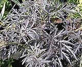 Rotlaubiger Holunder Black Lace - Sambucus nigra Black Lace - duftend - Heilpflanze