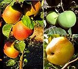 3er Set Apfelbäume