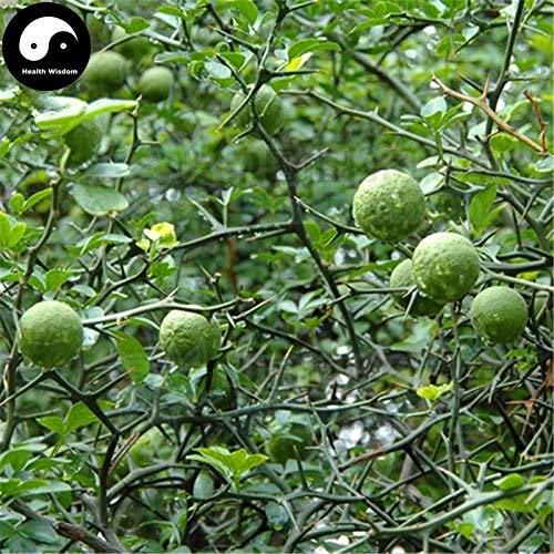 Homely Kaufen Bitter Orangenbaum Semente 30Pcs Pflanze Citrus Aurantium fr Aurantii Zhi Qiao