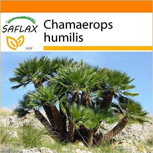 SAFLAX - Garden in the Bag - Zwergpalme - 10 Samen - Chamaerops humilis - Garden In A Bag