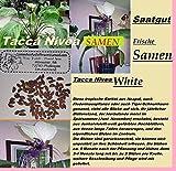 6x Originale Tacca Nivea White Pipistrello Pianta Giardino Fresco Originale Seme #246