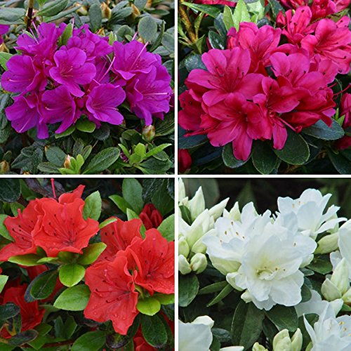 4 Plant Pack Mixed Dwarf Azaleas Small Evergreen Garden Shrub Colour Variety