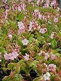 Geranium macrorrhizum Jördis - Storchschnabel, 15 Pflanzen in 7/6 cm Töpfen