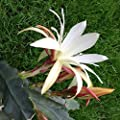 Epiphyllum Snow Bax - Steckling - 10 cm von CactusPlaza.com auf Du und dein Garten