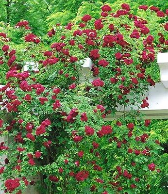 BALDUR-Garten Rambler-Rosen 'Chevy Chase', 1 Pflanze von Baldur-Garten bei Du und dein Garten