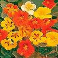 Gärtner Pötschke Rankende Kapuzinerkresse von Gärtner Pötschke bei Du und dein Garten