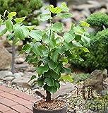 Chinesischer Judasbaum Shirobana 80-100cm - Cercis chinensis