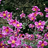 lichtnelke - Herbst - Anemone (Anemone 'SPLENDENS ')