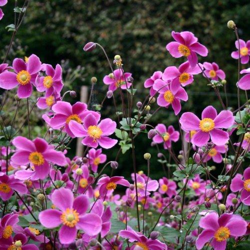 Produkt-Bild: lichtnelke - Herbst - Anemone (Anemone 'SPLENDENS ')