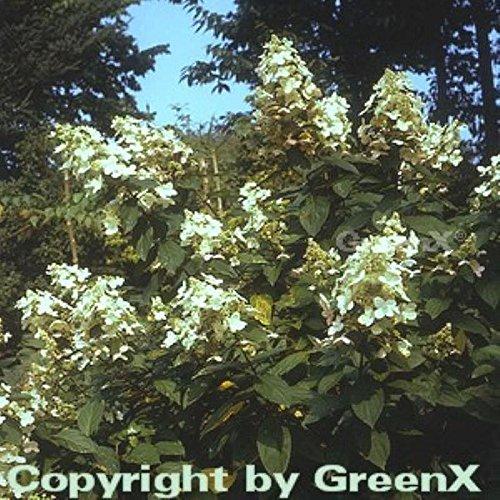 Hochstamm Rispen Hortensie Kyushu 80-100cm – Hydrangea paniculata