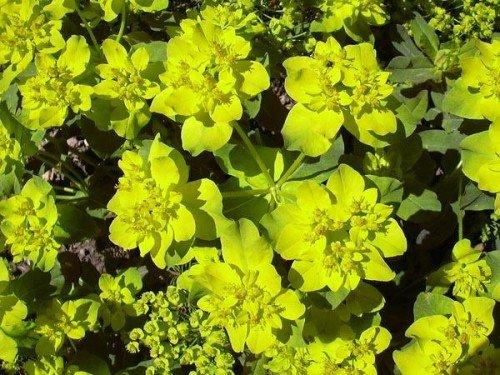 Gold Wolfsmilch Euphorbia polychroma 100 Samen (Wolfsmilch Samen)