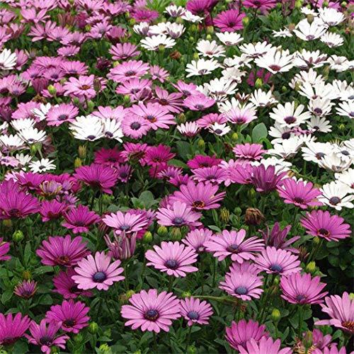 kisshes giardino - 50 pezzi semi di fiori di gelsi africani mix di fiori fiori di mezzogiorno fiori estivi semi di fiori di mare per letti/prati da giardino