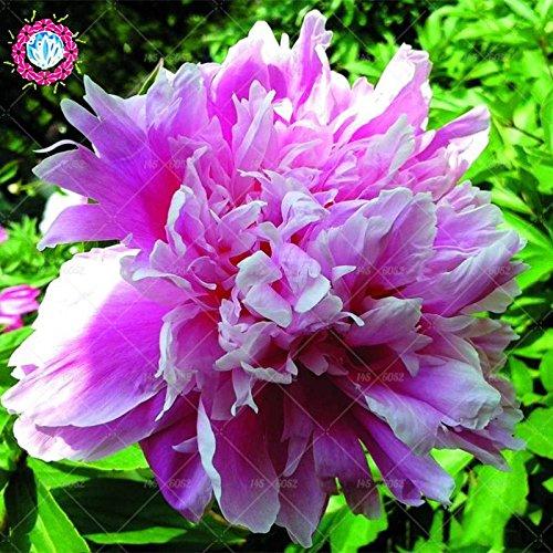 10pcs rares graines d'arbres pivoines blanc Bonsai Paeonia lactiflora Graines de fleurs vivaces de jardin en pot plants.semillas de flores