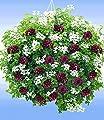 """BALDUR-Garten Hänge-Geranien-Mix """"Black & White"""",6 Pflanzen Pelargonium peltatum Hängegeranie """"Royal Night®""""&""""White Glacier®"""" von Baldur-Garten bei Du und dein Garten"""