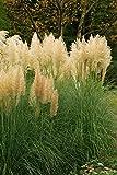 Goldenes Mini Pampasgras - Cortaderia selloana Gold Mini Pampa - 1 Pflanze (5 Ltr. Topf)