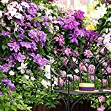 Keptei Samenhaus- 30 Stück Garten Clematis Samen Kletterplanzen Waldrebe seed Zierstrauch winterhart Blumensamen mehrjährige Lange Blütezeit
