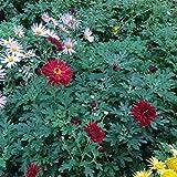 lichtnelke - Herbstchrysantheme (Dendranthema indicum) RED VELVET