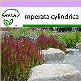 SAFLAX - Gräser-Bambus-Japanisches Blutgras - 50 Samen - Imperata cylindrica