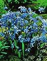 100 Scilla Siberica Blausternchen in Blau Blumenzwiebeln von Blumenhandel Ullrich - Du und dein Garten