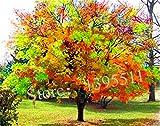1bag = 20 Stück Seltene Coulerful Ahornsamen Bonsai-Baum-Pflanzen Topfgarten Japanischer Ahorn-Samen