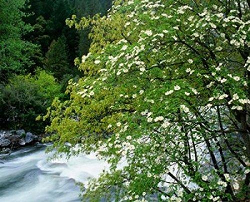 Jaynes Gallery/DanitaDelimont - Flowering Dogwood Tree Along The Merced River Yosemite National Park California Photo Print (50,80 x 40,64 cm) - Flowering Dogwood Tree