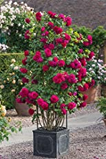 M-Tech Gardens Rare Grafted Dark Pink Climbing Rose Perinnial Flower 1 Healthy Live Plant