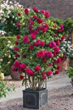 #4: M-Tech Gardens Rare Grafted Dark Pink Climbing Rose Perinnial Flower 1 Healthy Live Plant