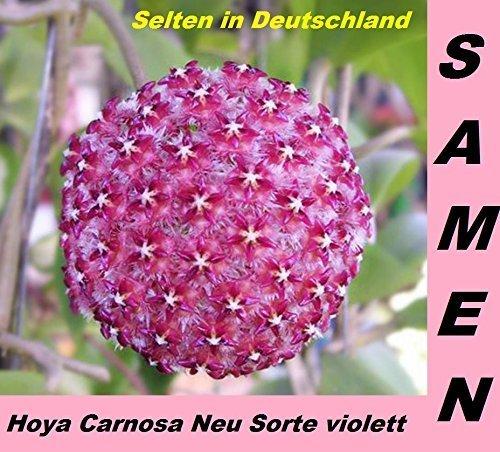 20x-hoya-carnosa-violett-neue-sorte-blumensamen-mehrjahrige-zimmerpflanze-neu-sorte-223