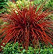 GardenHouse Uncinia rubra 3 x plugs, Stunning all year red ornamental grass for groundcover low maintenance