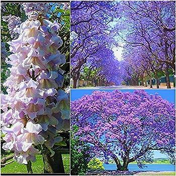 Aquamarinblaue Blüten Winterharter Blauglockenbaum Frische Samen