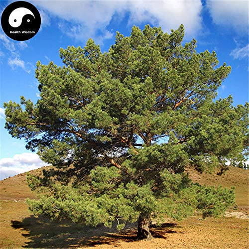 PLAT FIRM KEIM SEEDS: 30pcs: Kaufen Pinus sylvestris Baumsamen Pflanze Chinesische Pinus Baum für Zhang Zi-Lied