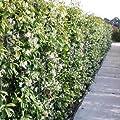 Sternjasmin (Immergrün & Winterhart) - 1,5 Liter Topf - Wintergrün | ClematisOnline Kletterpflanzen & Blumen von ClematisOnline - Du und dein Garten