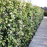 3 Sternjasmin (Immergrün & Winterhart) - 1 Meter Hecke : 3 Pflanzen kaufen/2 bezahlen / Weiß - 1,5 Liter Topfen - Wintergrün | ClematisOnline Kletterpflanzen & Blumen