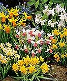 Narcisses en mélange-le paquet de 50-Bulbes à fleurs