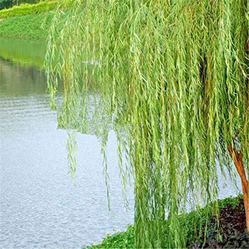 ScoutSeed KAUFEN 3 ERHALTEN 2 FREI Willow 50 Stück Samen Bonsai Pflanze Für Gartenhaus Vier...