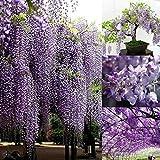 Gfone Glyzinie Samen 10 Stück Samen Baum Winterhart Mehrjährige Blumensamen Winterhart für Garten und Straßenrand