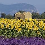Artland Qualitätsbilder I Glasbilder Deko Glas Bilder 20 x 20 cm Botanik Blumenwiese Foto Gelb A6WT Lavendel Sonnenblumen Provence Frankreich