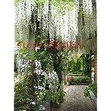 10 semillas de glicina de color blanco semillas de árboles raros para el jardín de DIY muy bonito