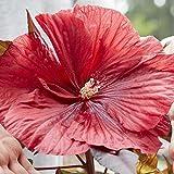 lichtnelke - Riesen-Hibiskus (Hibiscus moscheutos) Carousel® Geant Red
