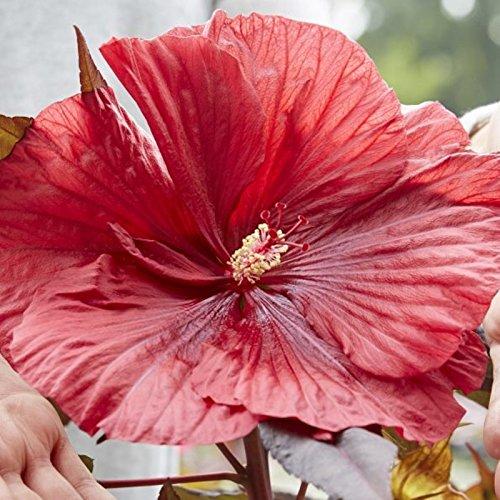 lichtnelke – Riesen-Hibiskus (Hibiscus moscheutos) Carousel® Geant Red